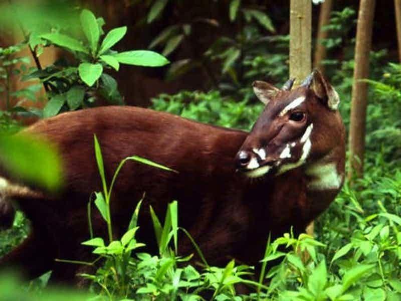 Саола: редчайшее парнокопытное, которое находится на грани исчезновения