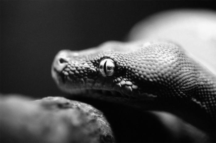 Змея - ключевая фигура в религии вуду.