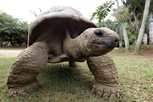 Абингдонская слоновая черепаха — 2012 год. вымирание, животные, планета земля