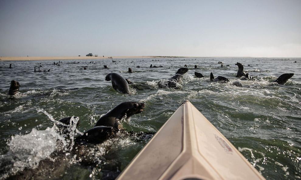 морских котиков