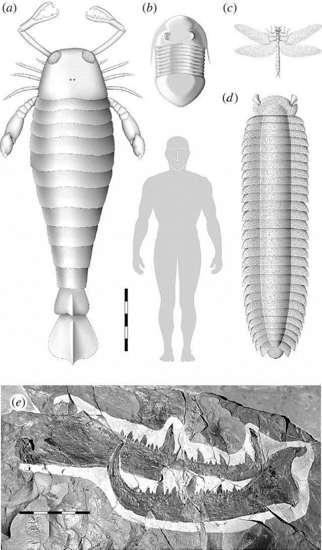 а) ракоскорпион b) трилобит c) меганерва d) Артроплевра -гигантская многоножка интересно, наука, окаменелости, палеонтология