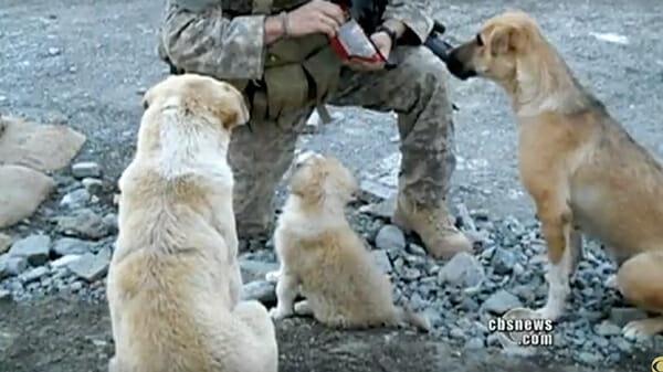 Бездомные собаки спасли солд…