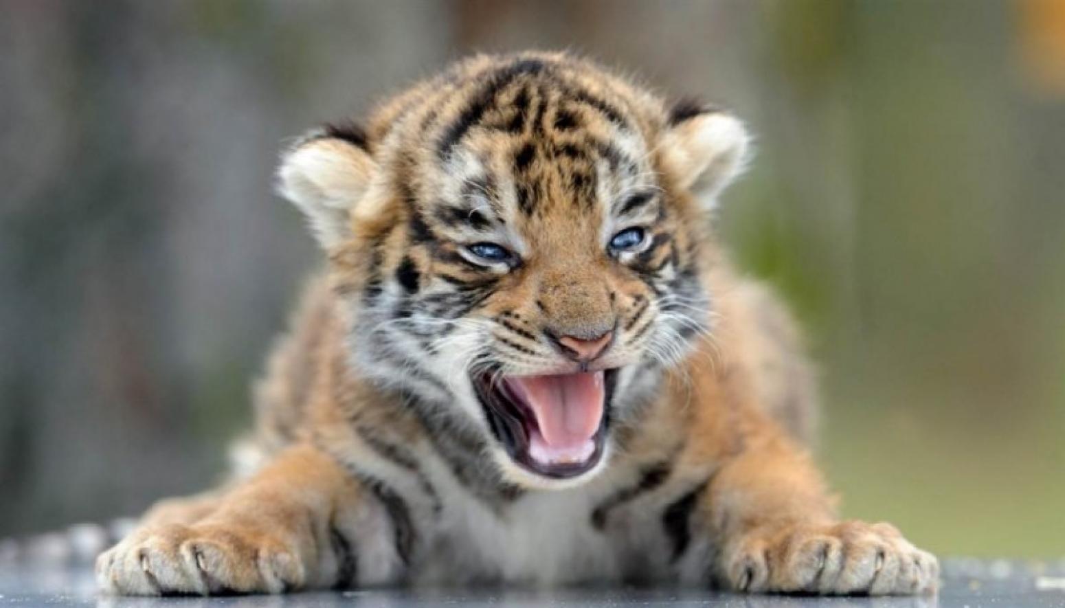 так злые тигрята картинки уютного дома
