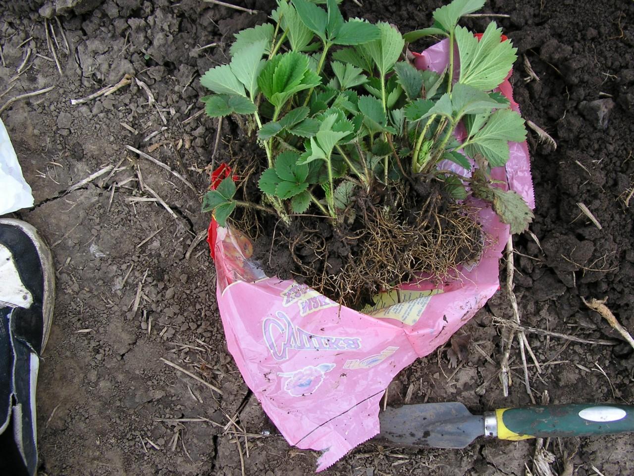 Морозы? идем в огород... копать землянику!