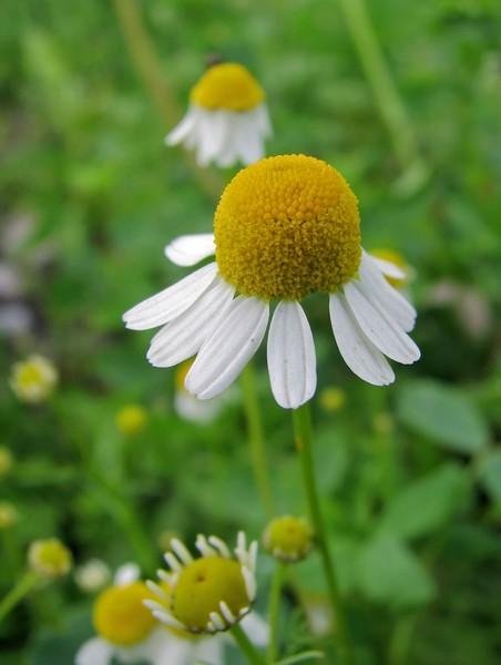 Доклад о лекарственных растениях ромашка 2 класс