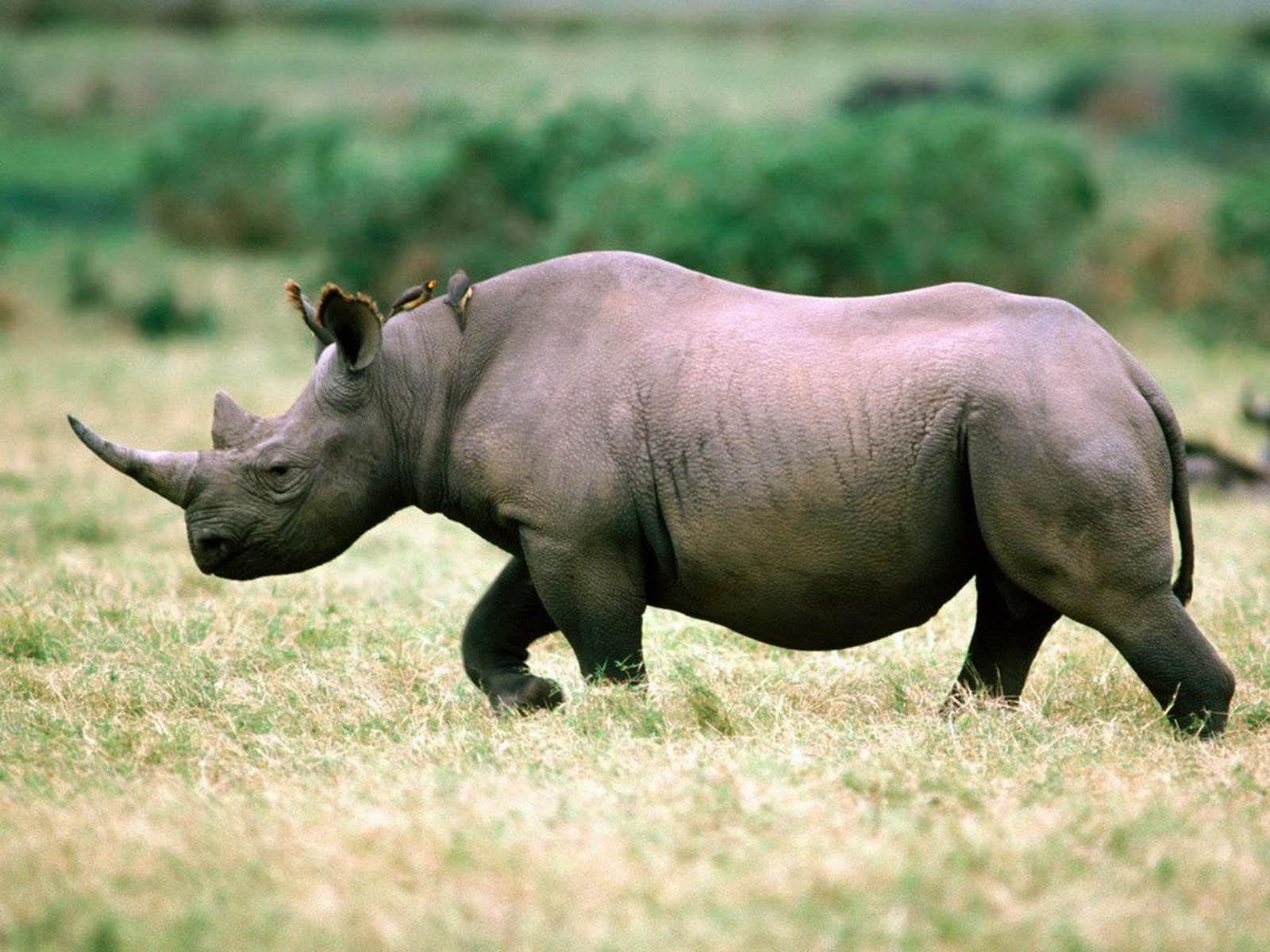 Западный чёрный носорог — 2013. вымирание, животные, планета земля
