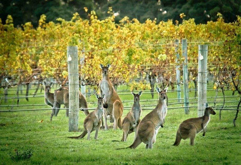 Вино Большой Барьерный риф, австралия, интересное, континент, природа, факты