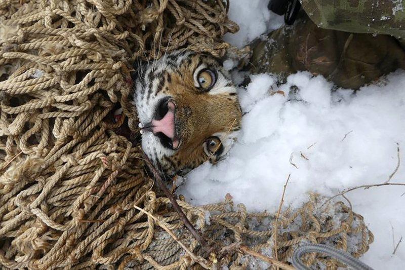 В Приморье поймали самку амурского тигра, охотившуюся на собак, и воссоединили ее с детенышами
