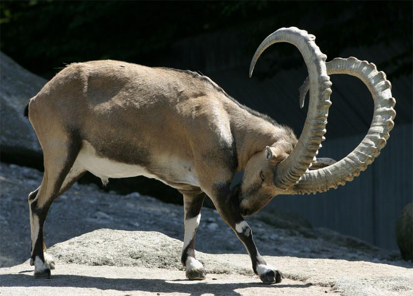 Пиренейский козерог — 2000. вымирание, животные, планета земля