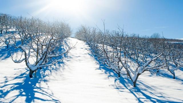 Яблоневый сад зимой