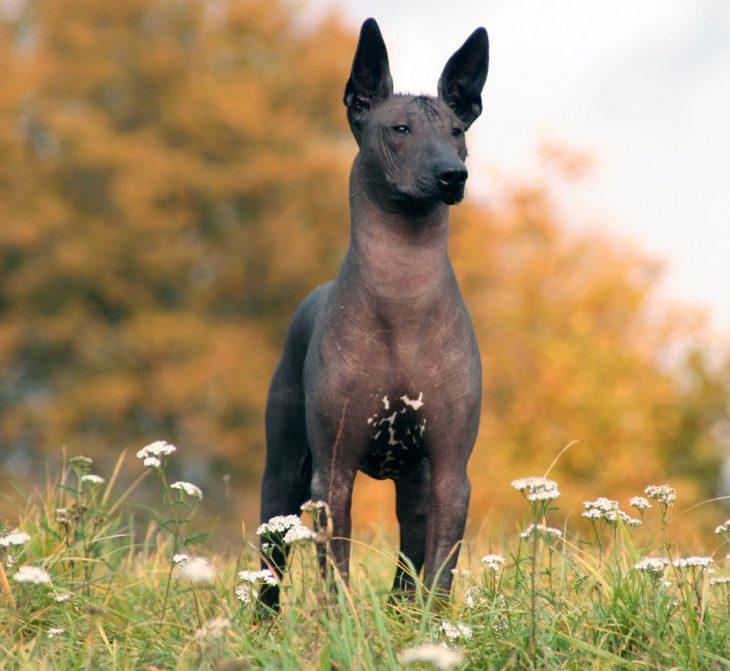 17 прелестных пород собак, о которых Вы никогда не слышали
