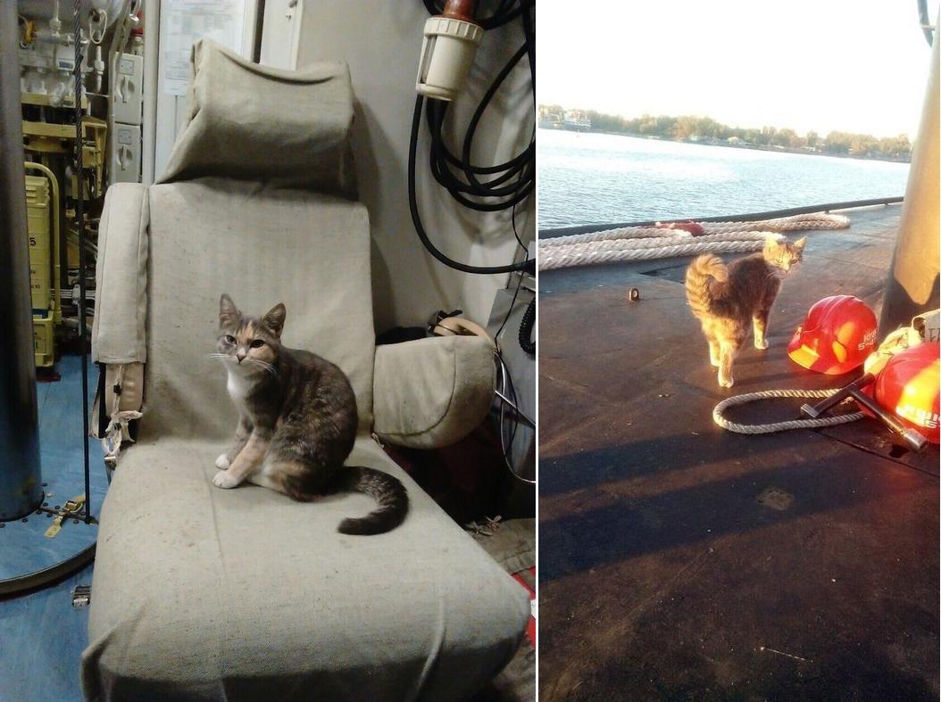 Трёхцветная кошка родила котят на подводной лодке кошки