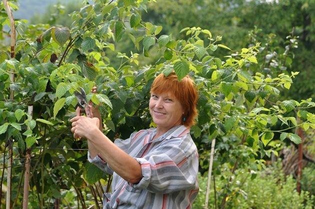 Малина без ягод не оставит садоводство
