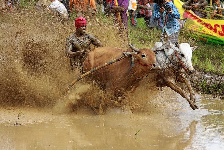 Индийские гонки на быках 2018