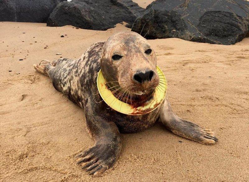 Тюлениха чуть не умерла из-за фрисби, пережавшей её шею