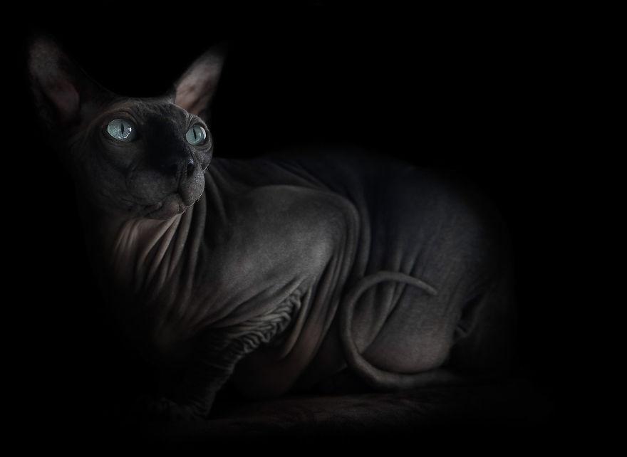 Инопланетная красота кошек породы сфинкс  кошка, портрет, сфинкс