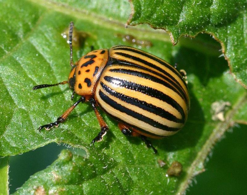 Мои наблюдения по борьбе с колорадским жуком