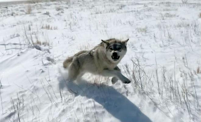 Ушел на неделю в лес и повстречал волков: спасла машина и фонарь волк,животные,машина,пес,Природа,Пространство,хищник