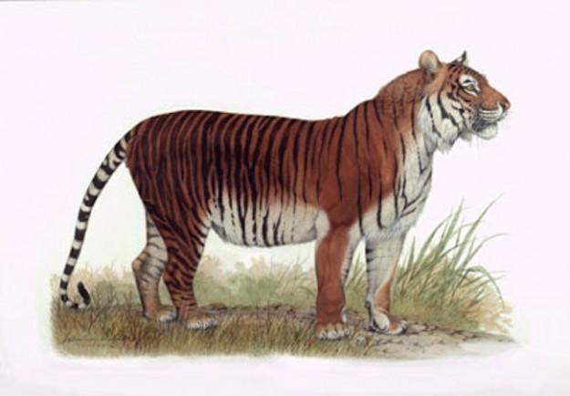 Яванский тигр — 1994. вымирание, животные, планета земля