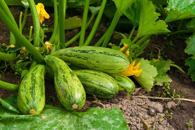 Осень: готовьте грядку для кабачка