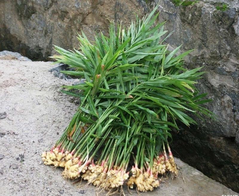 Случайно пророс имбирь. Теперь я его всегда выращиваю сама на подоконнике огород на подоконнике,полезные советы