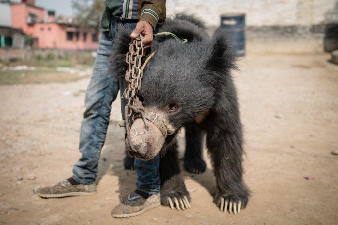 """Их больше нет! Последние из """"танцующих медведей"""" были спасены волонтерами Непала"""