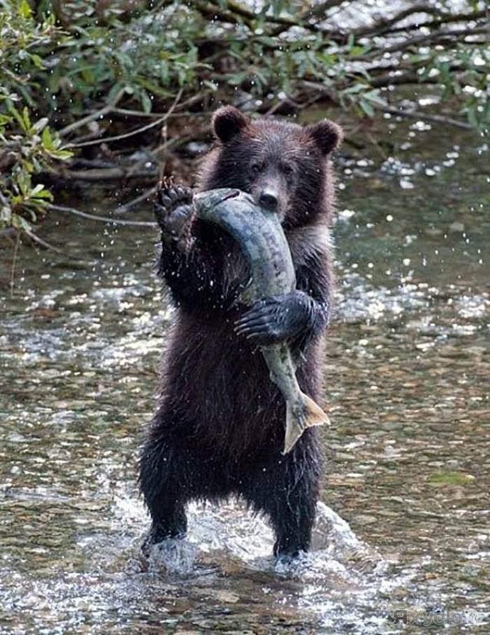Очень смешные картинки с медведями, сделать поздравительную открытку