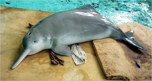 Речной дельфин бейджи — 2007 год. вымирание, животные, планета земля