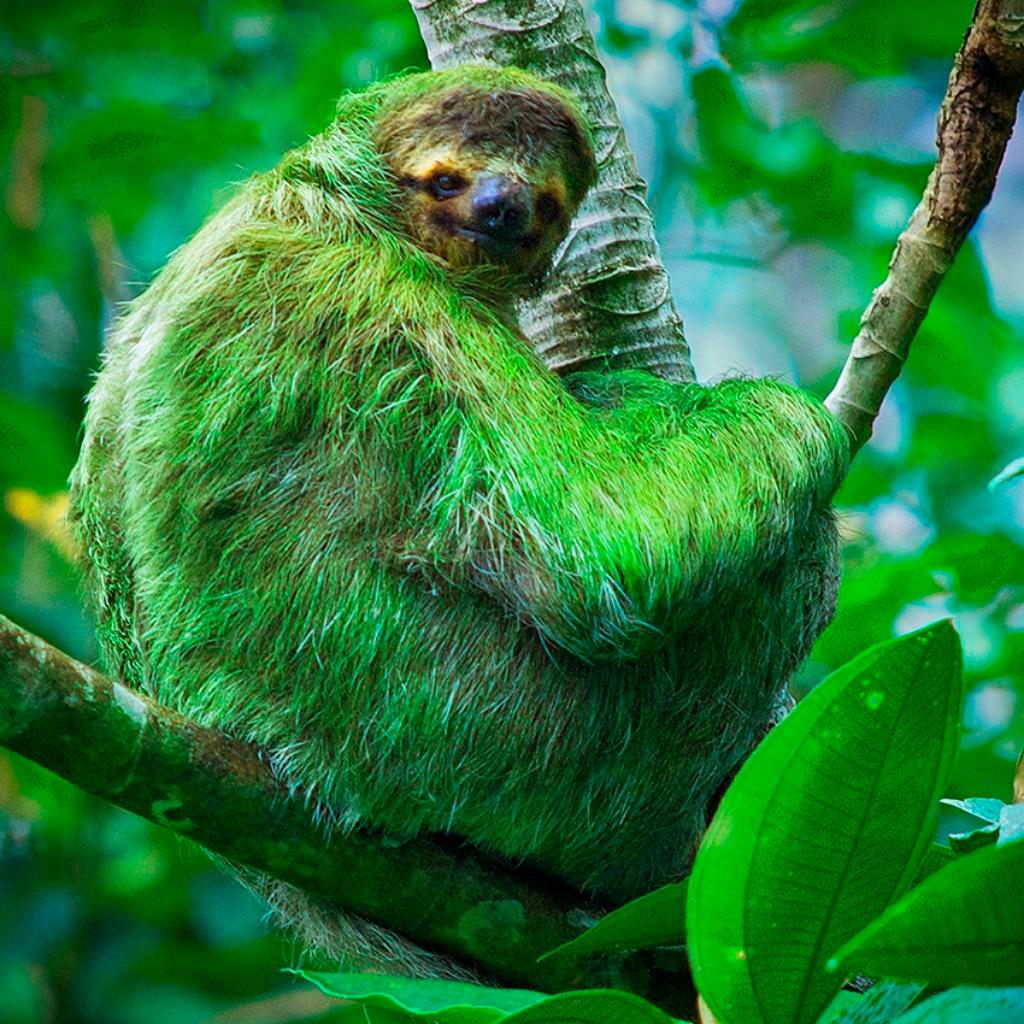 Шерсть ленивца имеет зеленый цвет из-за поселившихся в ней водорослей