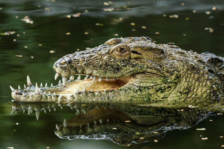 В индийском зоопарке живет необычный крокодил с челюстями разного размера