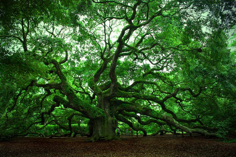 Удивительные деревья нашей планеты.