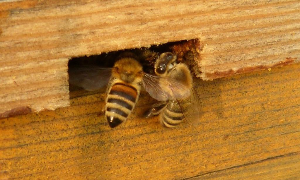 Пчела в улье картинки
