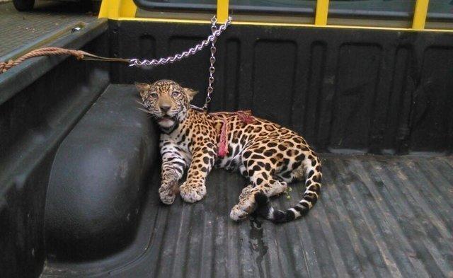 Парализованного ягуара нашли в джунглях без мамы и надежды в глазах…