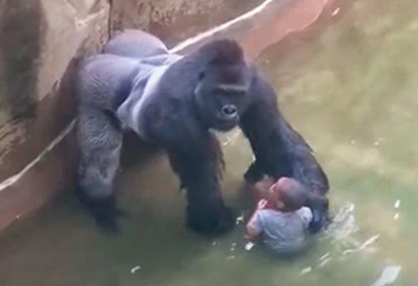 13. Последние мгновения жизни гориллы Харамбе, которую застрелили из-за угрозы жизни ребенка, упавшего в вольер. Зоопарк в Цинциннати, 2016 г. жуткие моменты, за мгновение до, за секунду до, за секунду до смерти, катастрофы, печальные кадры, трагедии