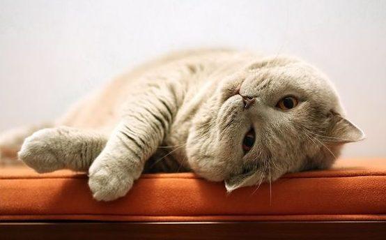 Лишай у кошек: признаки, виды и лечение
