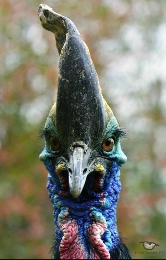 Казуары красивы, но очень опасны животные, занимательно, интересно, необычно, природа, ракурс, факты