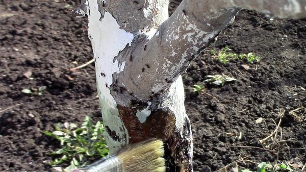 Весна - пора защитить плодовые деревья от вредителей