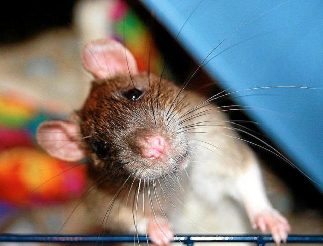 Крыса отказывается есть брокколи (видео)