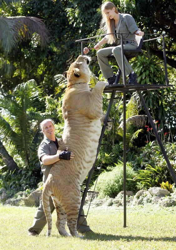 Геркулес: самая большая кошка мира весит как 2 льва и живет с людьми Культура