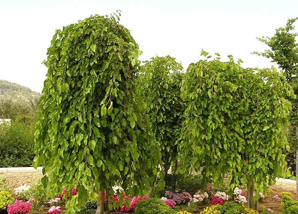 плакучее тутовое дерево