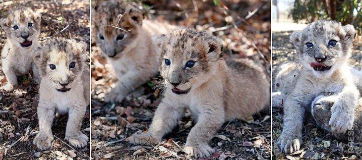 Впервые родились львята, зачатые при помощи искусственного оплодотворения