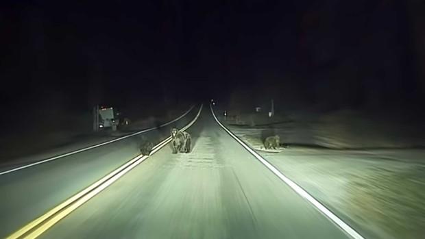 Беспилотный автомобиль Tesla спас  семью медведей (видео)