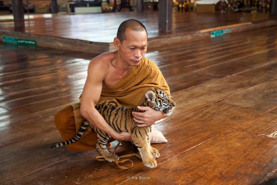 Картинки монах и тигр