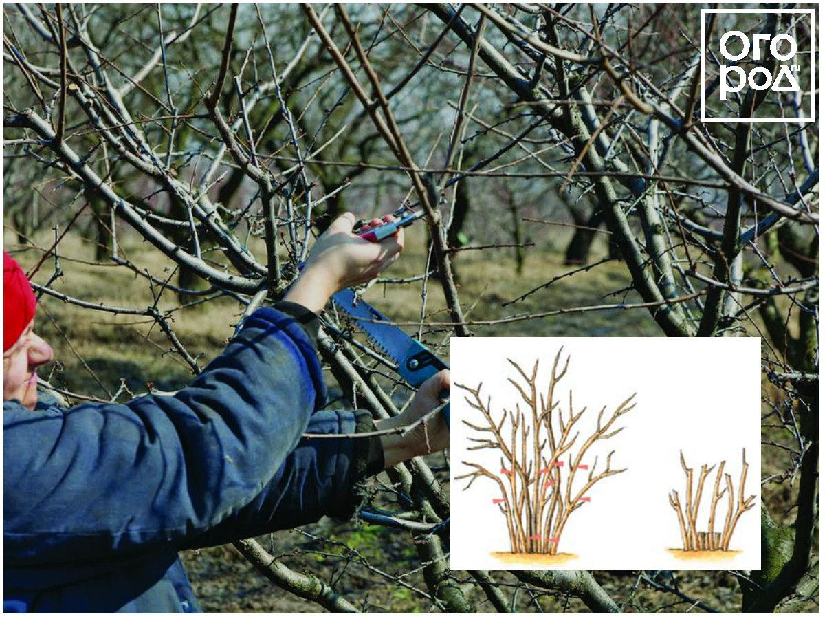 Обрезка плодовых деревьев и кустарников картинка