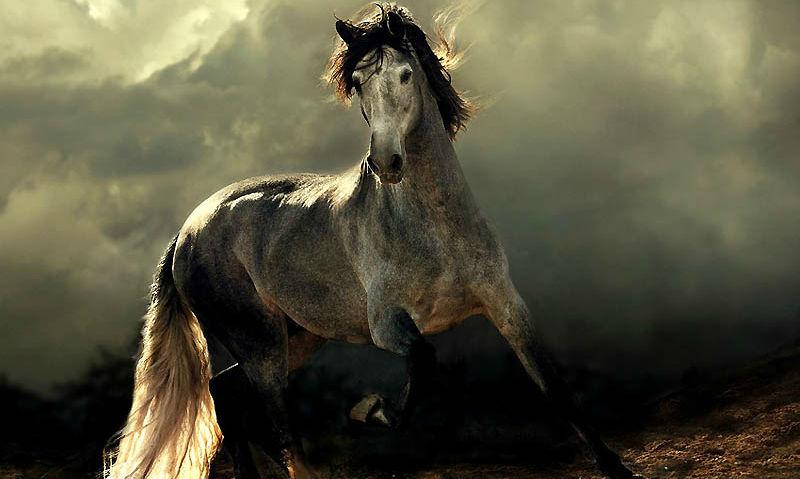 Сказочная красота – арабские и андалузские лошади