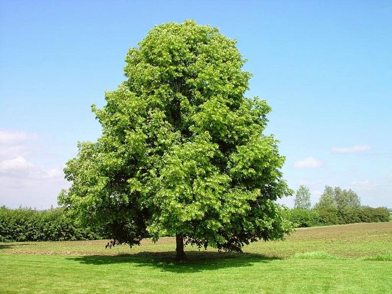 какие деревья нельзя сажать возле дома приметы