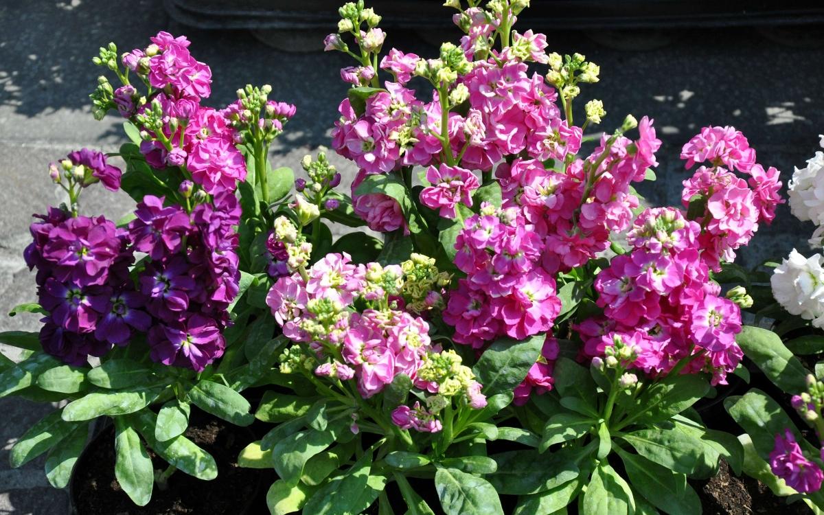 Благоухающий левкой: правила посадки и условия выращивания цветка из семян