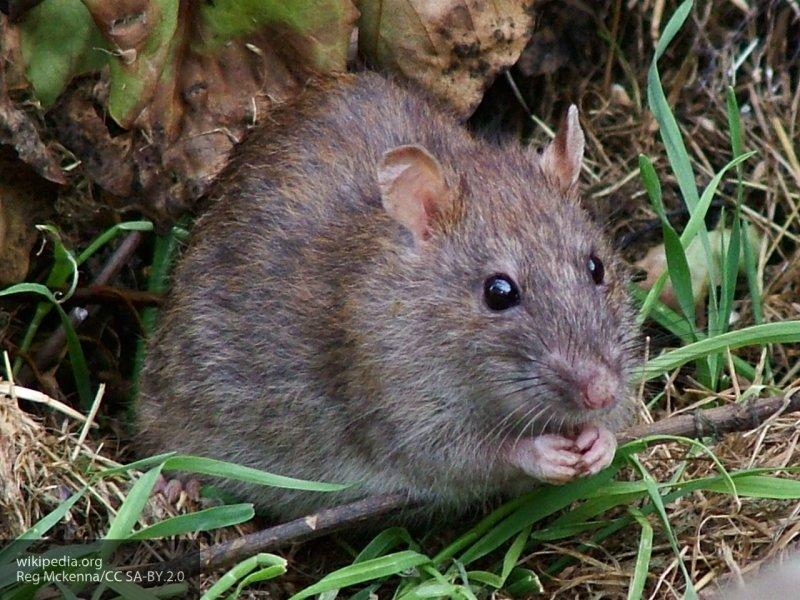 """В Челябинске крысы """"атаковали"""" городские мусорки"""