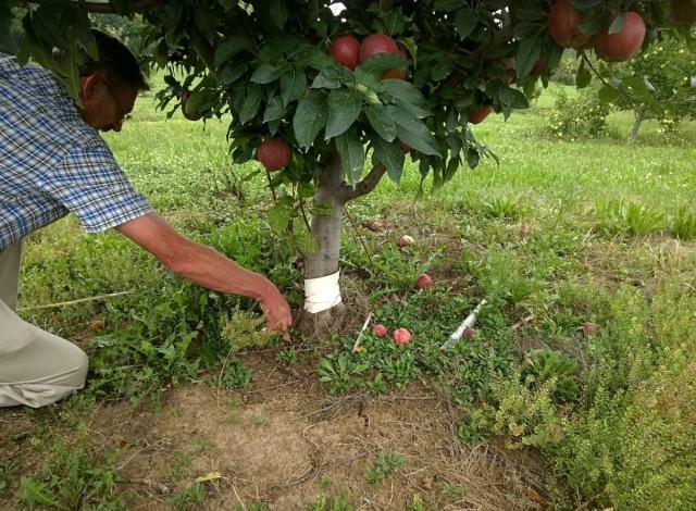Размножение яблони корневыми черенками отводками