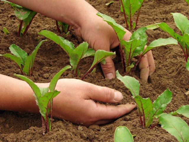 6 шагов до небывалого урожая свеклы